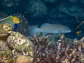 Photo: polkadot cod and emperor angelfish