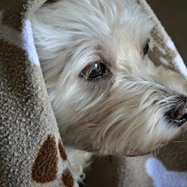 T - doggy blanket (2) by B Lynn - Animals - Dogs Portraits ( lighting., pet., mutt., mutts., white. )