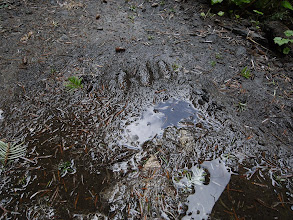 Photo: Bear Footprint?