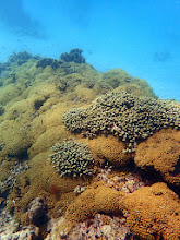 Photo: Typical assemblage, 10-15 ft below LW, >85% living coral cover in the Seaward Slope Zone.  Today, the healthiest corals and the greatest coral cover and diversity occur in the Seaward Slope, Reef Front, and Deep Water Community Zones.  Photos were taken with a Sealife MicroHD or an Olympus Tough TG3 in an Olympus PT-052 Underwater Housing, mostly the former.   My last proper underwater camera was a Nikonos II which I used in these waters in the late 1960s. Later on I will add some pics from that era before the onset of coral bleaching and a plethora of novel diseases and other disturbances