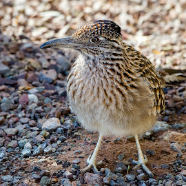 Roadrunner by Dave Lipchen - Animals Birds ( roadrunner )
