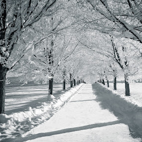 Maple Lane in Winter by Craig Lybbert - Black & White Landscapes ( snow, greenbluff, frost, trees, maple, lane )