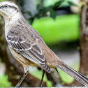 Sabiá-do-Campo / Chalk-browed Mockingbird