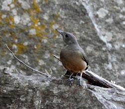 Photo: Day 2 - Sandstone Shrikethrush at Ubirr