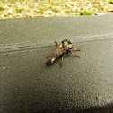 robber fly or assassin fly