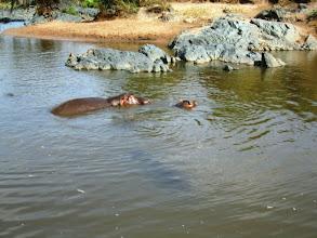Photo: Lisää näitä tavallaan hellyyttävän näköisiä otuksia - jotka kuitenkin ovat vaarallisimpia eläimiä Afrikassa