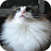 Ragdoll Cats Wallpapers