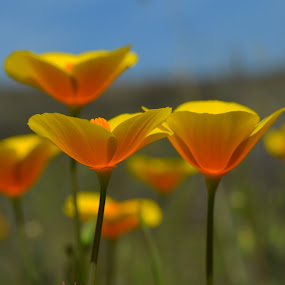 Sunshine Poppies by Nikki Kean - Flowers Flowers in the Wild ( wild flower, nature, california, poppies, poppy, flowers, flower,  )