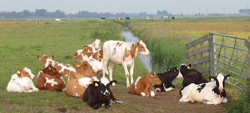 Photo: Veel koeien in het Oude Land, ieder met z'n eigen tekening