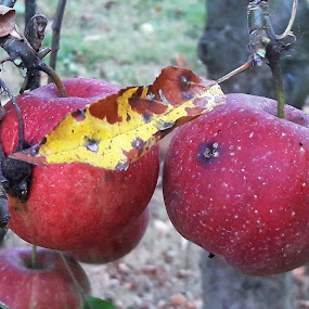 by Megi Šajn - Nature Up Close Gardens & Produce ( red, nature, up close, natural light, apples )