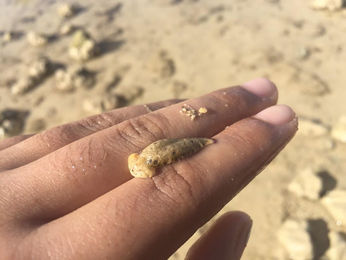 Ringed sap-sucking slug