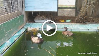 Video: The mating behavior of the endangered white-headed ducks
