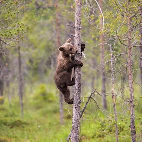 Wild bear cub  by Dennis Hallberg - Animals Other Mammals ( bear, brown bear cub, bear cub, wild bear, brown bear,  )