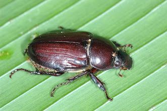Photo: 13 Aspidolea fuliginea 1, Esquinas Rainforest