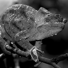 Green cameleon by Gérard CHATENET - Black & White Animals