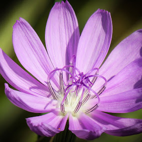 Soft purple by Scott Thomas - Flowers Flowers in the Wild ( #nature, #colors, #wild, #soft purple, #flower )
