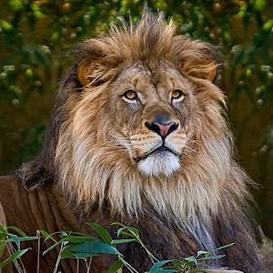 lion_0396.jpg