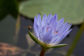 Photo: Water lilly / Lilie