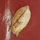 Leafrolling Bellmoth Female
