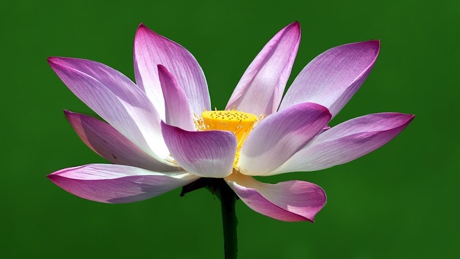 Lotus by Shobin George - Nature Up Close Flowers - 2011-2013 ( lotus, flower,  )