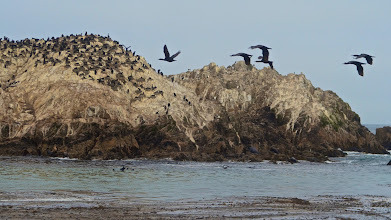 Photo: 70. So here's bird rock, with a large gathering of cormorants and other sea birds. You can see the tops of kelps in the foreground, where it's always worth scanning for sea otters. I didn't see any when I was there, but I would guess they do hang around this spot.