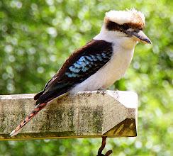 Photo: Year 2 Day 144 - The Beautiful Kookaburra