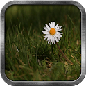 Daisy Live Wallpaper icon