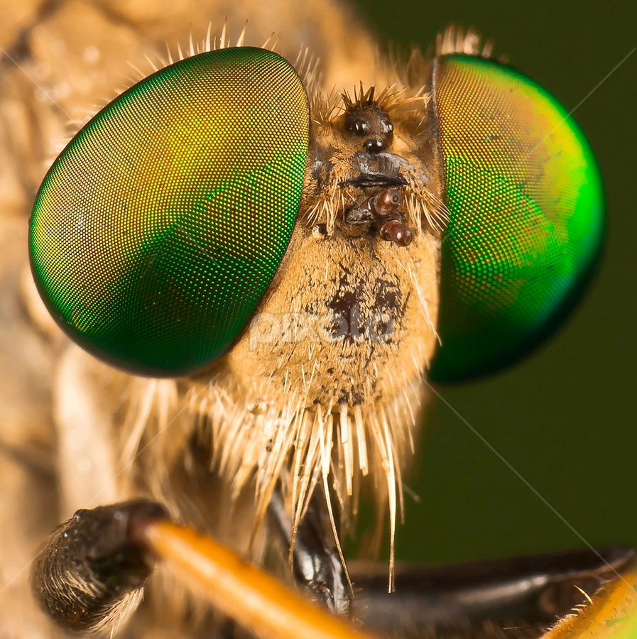 When I Get Older.... by Vincent Sinaga - Animals Insects & Spiders