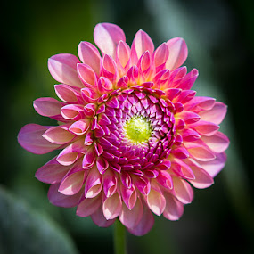 A Pink One by Janet Marsh - Flowers Single Flower ( pink, dahlia,  )