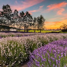 Lavender Farm at Sequim by Louis Tam - Flowers Flower Gardens ( flowers, festival, sunset, lavender, colorful )