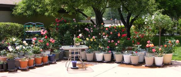 Các chậu hoa hồng nên được kê lên để đáy chậu luôn thông thoáng thoát nước tốt.