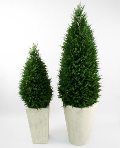 Cupressus (Cypress) - 110cm - 190cm
