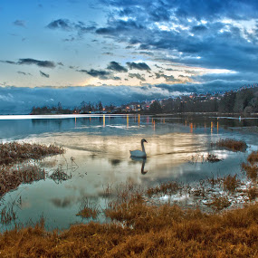 Swan in Lagoon by Doug Clement - Landscapes Waterscapes ( sky, lagoon, white, swan, victoria, b.c. esquimalt )