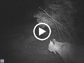 Video: Bobcat movie