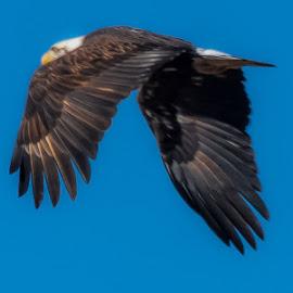 Eagle in Flight by Jennifer  Loper  - Animals Birds ( blue sky, wings, feathers, bald eagle )