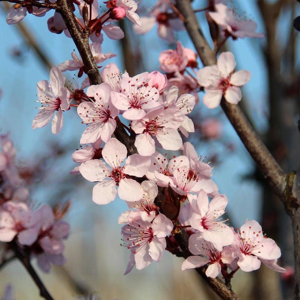 Prunus-Nigra-Flowers