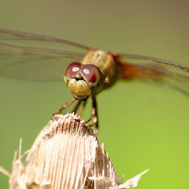 Crocothemis servilia by Deny Afrian Wahyudi - Animals Insects & Spiders ( dragonfly, outdoor, species, nature, canon )