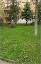 Photo: Balusca, Steaua Bethleemului (Ornithogalum umbellatum) - din Turda, Calea Victoriei, Bloc B 16, spatiu verde - 2019.04.30