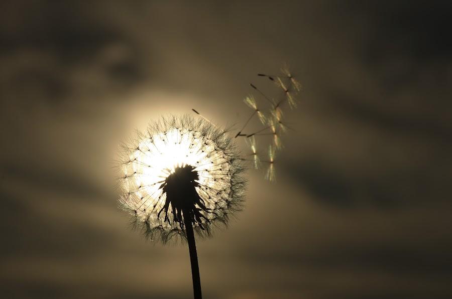 éclipse by Michael de Schacht - Nature Up Close Other plants ( dandelion )