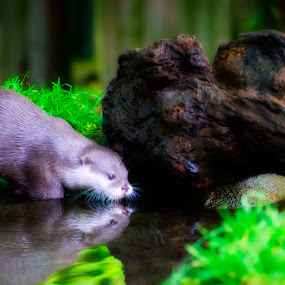 Reflect by Rogerio Teixeira - Animals Other Mammals (  )