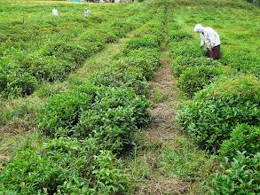 Photo: Lenkarani teaültetvény, Teaföld Lenkaranban, Lenkaran, tea