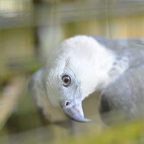 Eagle Eye by Mohd Nazeerul - Animals Birds