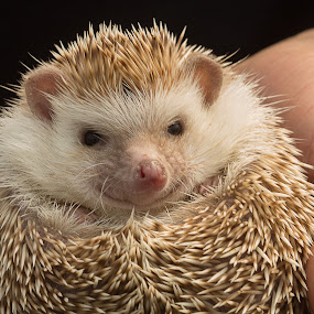 Hedgehog. by Simon Page - Animals Other Mammals