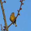 Grünfink, European greenfinch