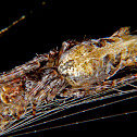 Cyclosa spider