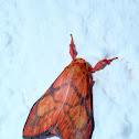 Eribidae Moth