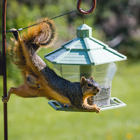 Going Nuts for Seeds by Rick Shick - Uncategorized All Uncategorized ( feeding, nuts, seeds, squirrel, feeder,  )