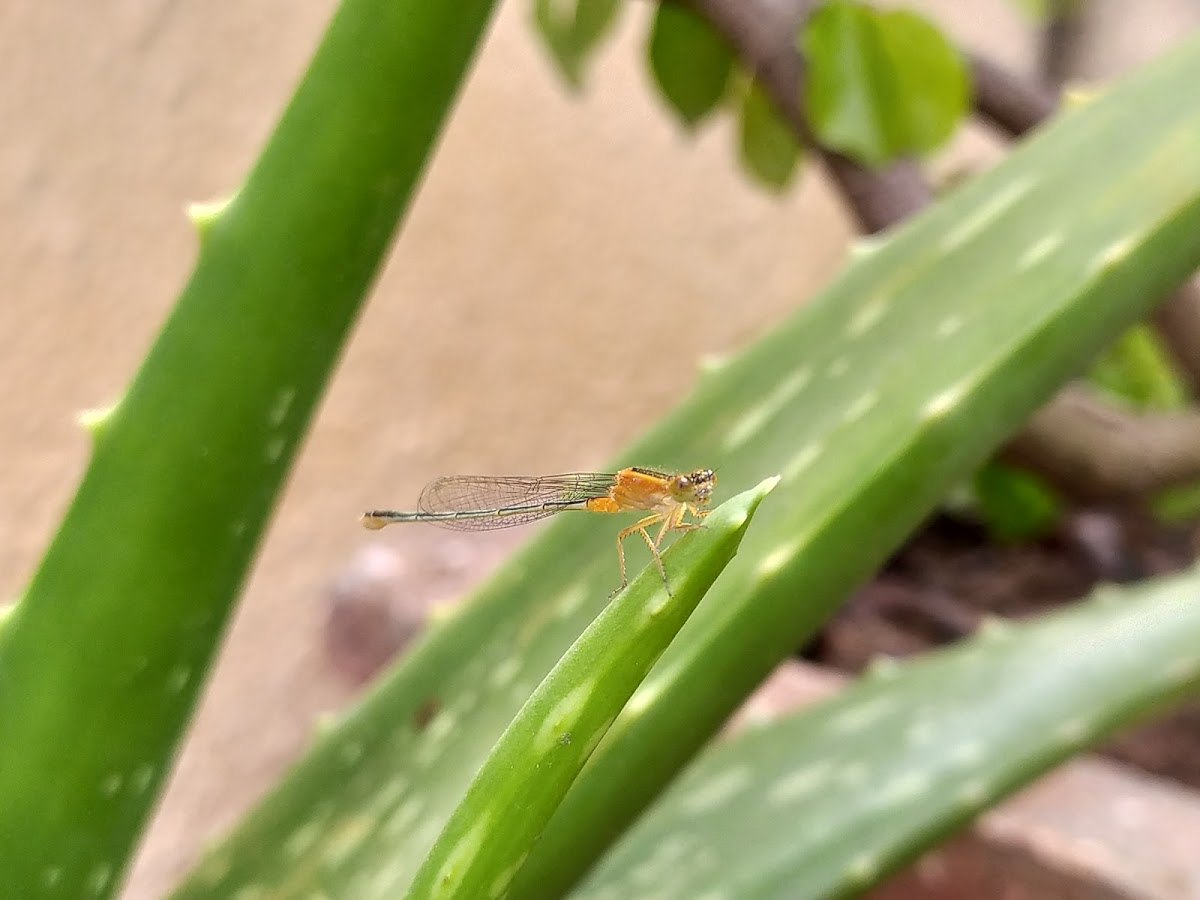 Orange Bluet Damselfly