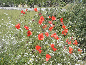 Photo: ... as are the poppies you see all over the countryside. They're red in Italy, not orange like we have in California, but same idea.