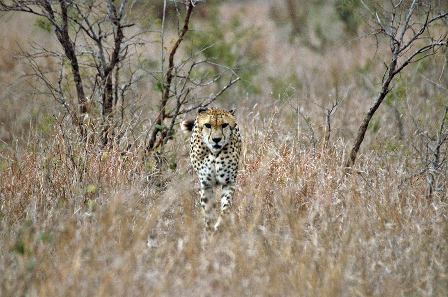 Head On by Martin Meyer - Novices Only Wildlife ( cats, wild, cheetah, kruger, africa )